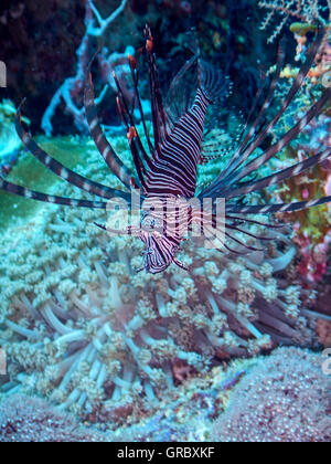 Red Lionfish In Coral Reef. Selayar, South Sulawesi, Indonesia - Stock Photo