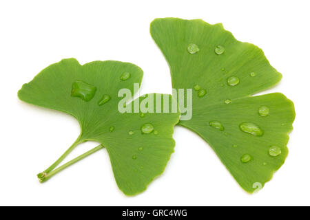 Two Fresh Ginkgo Leaves With Water Drops Isolated On White Background - Stock Photo