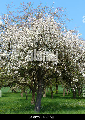 Blooming Apple Tree In Orchard Under A Blue Sky - Stock Photo