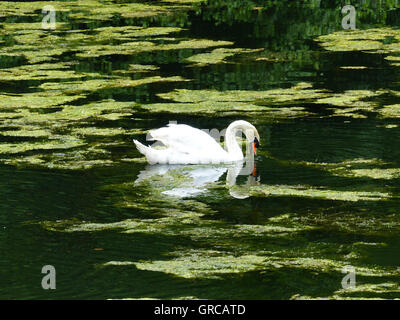 Swan, Mute Swan, Draws Its Rounds On With Green Algae Covered Lake, The Eiswoog - Stock Photo