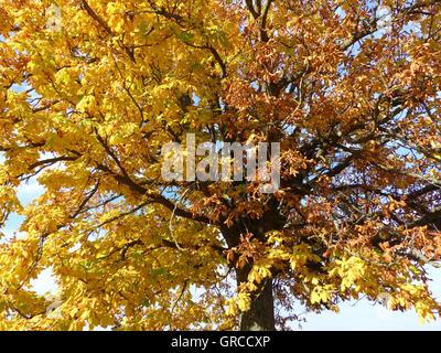 Chestnut Tree In Autumn - Stock Photo