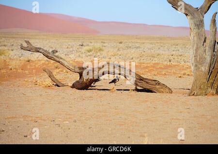 Sossusvlei With Dead Trees, Namib Desert, Namibia, - Stock Photo