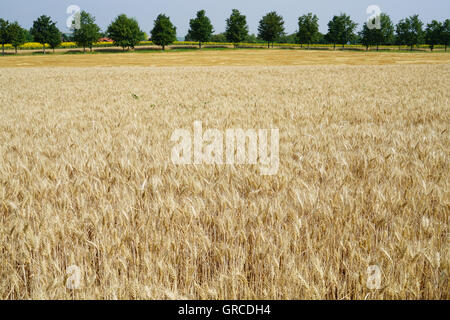 Cornfield And An Alley In The Background - Stock Photo
