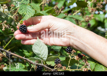 Person picking blackberries, England, UK - Stock Photo