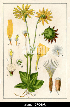 Arnica montana - leopard's bane, wolf's bane, mountain tobacco or mountain arnica - Stock Photo