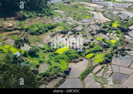 View From A Hill Over Rice Terraces In Various Degrees Of Ripeness, Toraja, Sulawesi, Indonesia - Stock Photo