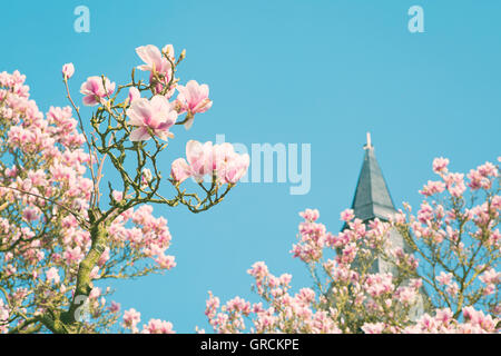 Blooming Magnolia Tree, Cloudless Blue Sky - Stock Photo