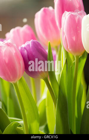 Bouquet Tulips In Pink , Purple And White - Stock Photo