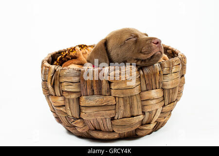A beautiful chocolate labrador retriever puppy  sleeping inside a basket in white background - Stock Photo