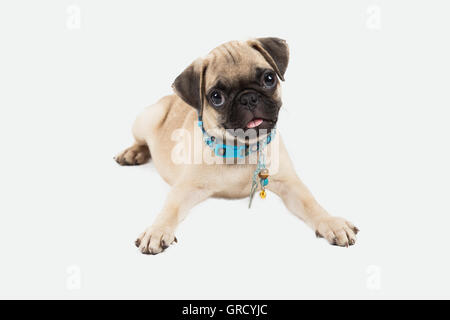 A pug puppy lying down looking to the camera in white background - Stock Photo