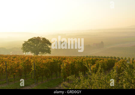 Wine Growing District Rhinehesse Early In The Morning, Romantic Mood, Near Spiesheim, Rhineland Palatinate, Germany, - Stock Photo