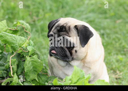 Pretty Beige Pug Sitting In The Grass Enjoying Summer - Stock Photo