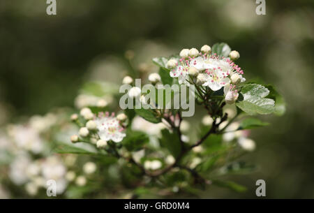 Blooming Whitethorn Twig - Stock Photo