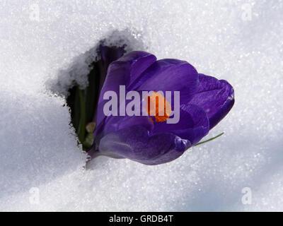 Violet Crocus Blooming In Snow - Stock Photo