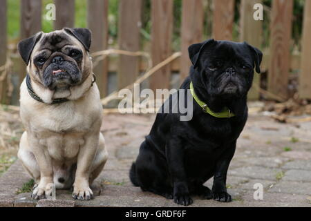 A Beige And A Black Pug Sitting Side By Side - Stock Photo