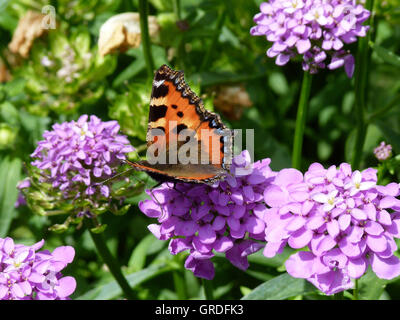 Small Tortoiseshell Butterfly On Violet Flowers - Stock Photo