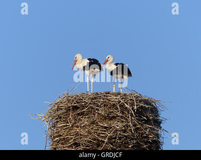 Two Storks In A Stork Nest - Stock Photo