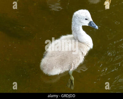 Chick Of A Mute Swan In Water - Stock Photo