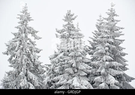 Wintry Spruces - Stock Photo