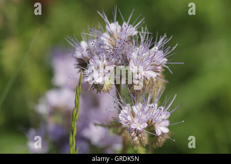 Lacy Phacelia, Phacelia Tanacetifolia, Green Manure And Food Source For Bees And Other Insects - Stock Photo