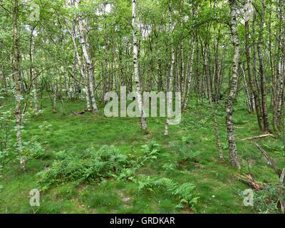 Birch Trees In Red Moor, Rhoen, Germany - Stock Photo