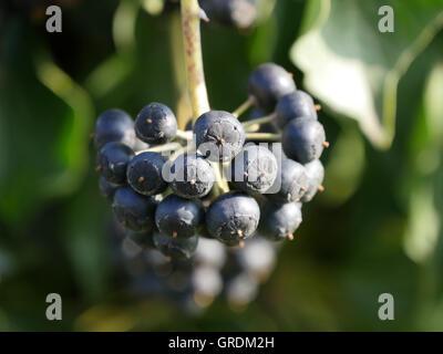 Common Ivy, Hedera Helix - Stock Photo