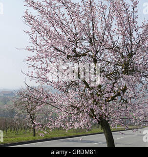 Almond Blossom At German Wine Route, Palatinate - Stock Photo