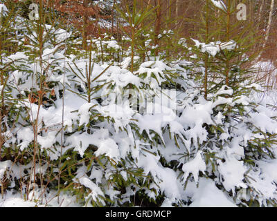 Snowy Spruces - Stock Photo