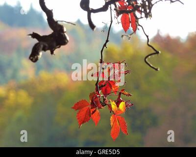 Wild Wine In Rich Autumn Colors