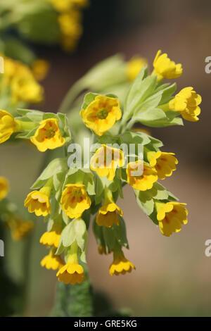 Blooming Primrose - Stock Photo