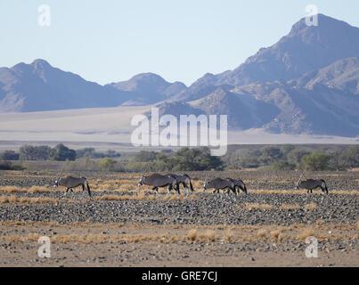 Oryx, On The Edge Of The Namib Desert, Namibia - Stock Photo