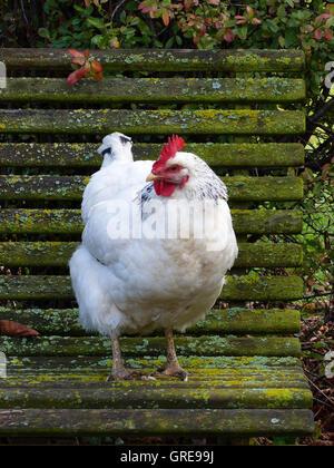 Free-Range, Happy Sussex Hen On Mossy Garden Bench - Stock Photo