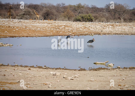 Some Marabous Standing In The Water, Giraffes In The Background - Stock Photo