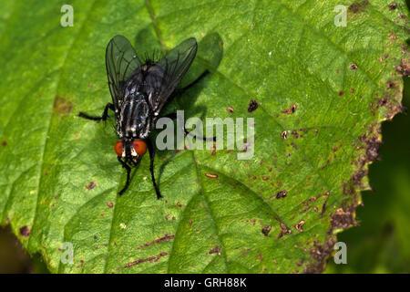 Common Flesh Fly Sarcophaga carnaria - Stock Photo