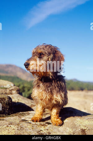 Wire-haired dachshund. - Stock Photo