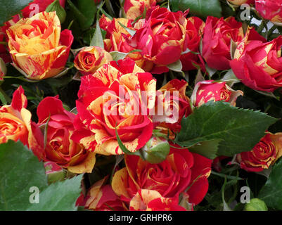 A Bunch of Two-Tone (Red and Yellow) Roses - Stock Photo