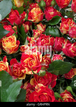 Bunch of Yellow and Red Roses - Stock Photo