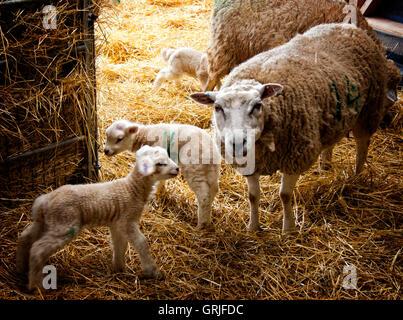 Sheep in barn during lambing - Stock Photo
