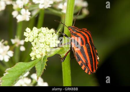 Streifenwanze, Streifen-Wanze, Graphosoma lineatum, Italian Striped-Bug, Striped-Bug, Minstrel Bug - Stock Photo