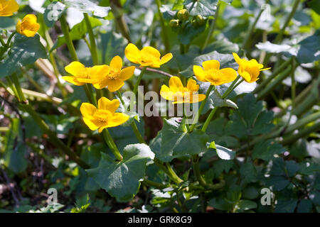 Sumpf-Dotterblume, Sumpfdotterblume, Caltha palustris, Kingcup, Marsh Marigold - Stock Photo
