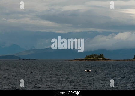 Humpback Whales blowing and diving and Five Fingers Lighthouse. Frederick Sound. Stephen's Passage. Petersberg. - Stock Photo