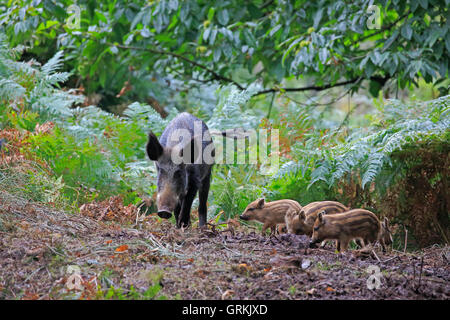 Female Wild Boar and piglets in the Forest of Dean - Stock Photo