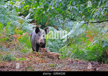 Wild Boar and piglet in the Forest of Dean - Stock Photo