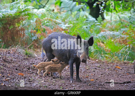 Female Wild Boar standing up suckling piglets in the Forest of Dean - Stock Photo