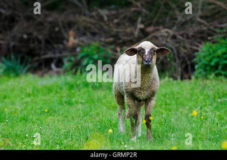 European sheep, countryside, Slovakia - Stock Photo