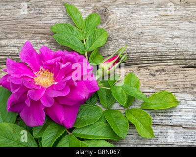 Deep pink rugosa rose flower with leaves and bud on the old weathered board - Stock Photo