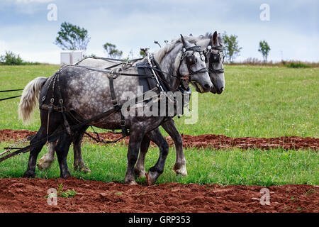 A pair of match gray draft horses in full harness. - Stock Photo