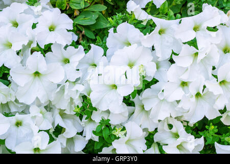 Floral background of copious quantities of blooming white Petunia flowers - Stock Photo