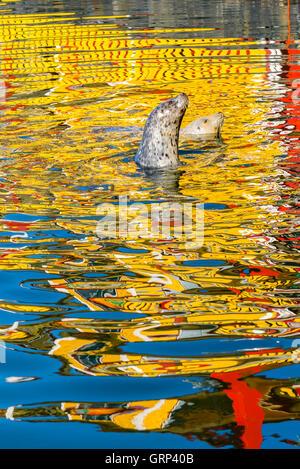 Harbour seals, Fihermans Wharf, Victoria, British Columbia, Canada - Stock Photo
