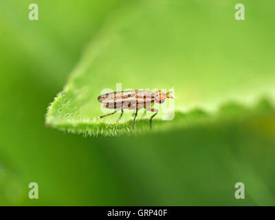 True fly species Coremacera marginata resting on margin of hairy green leaf showing spotted wings and extended antenna - Stock Photo